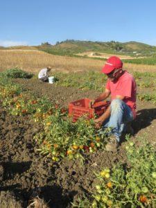 Transparenz auf dem Tomatenfeld: Pietro und Basheer ernten alte Tomatensorten für die KundInnen von Crowd Container. Foto: Valdibella