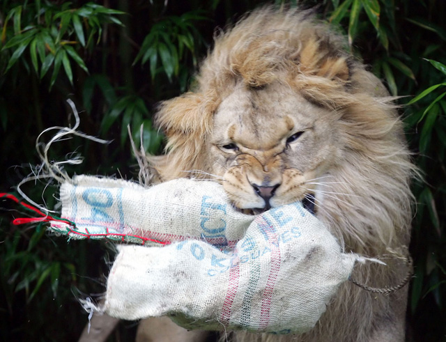 F-u-r-c-h-t-b-a-r-e Weihnachtsgeschenke: Der Löwe in Zoo von San Francisco zerlegt sein Weinachtsgeschenk in Einzelteile. (Keystone//Marcio Jose Sanchez)
