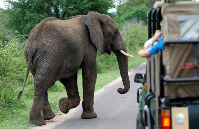 Ein Elefantenbulle kreuzt den Weg eines Safari-Wagens. (Reuters/Mike Hutchings)