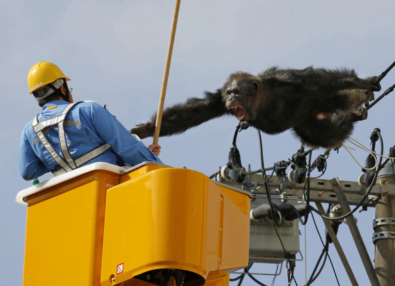 Der Lohn dafür ist ein Schrei ins Gesicht: Dieser Arbeiter muss einen Schimpansen einfangen, der aus dem Zoo in Sendai ausgebrochen ist. Foto: Kyodo News, AP, Keystone