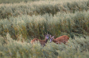 Deer rest in a field with crops of oats near the village of Vereskovo, some 150 km (93 miles) west of Minsk, Belarus, early Monday, July 16, 2012. (AP Photo/Sergei Grits)