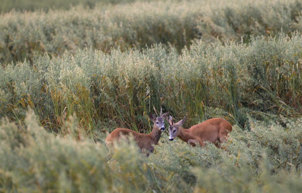Scheu: Rehe flüchten schnell, aber nicht weit. Foto: Sergei Grits (AP Photo)