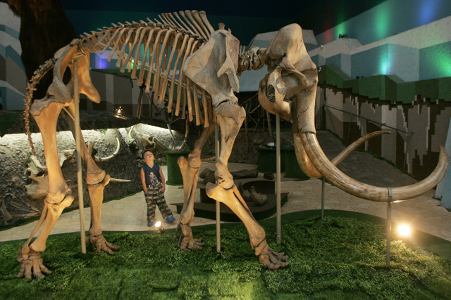 A boy looks at the skeleton of a mammoth in the Ice Age Museum in Moscow September 4, 2007. In Siberia's northernmost reaches, high up in the Arctic Circle, the changing temperature is thawing out the permafrost to reveal the bones of prehistoric animals like mammoths, woolly rhinos and lions that have been buried for thousands of years. Picture taken September 4, 2007. To match feature ARCTIC-RUSSIA/MAMMOTHS REUTERS/Sergei Karpukhin (RUSSIA) - RTR1TZ21