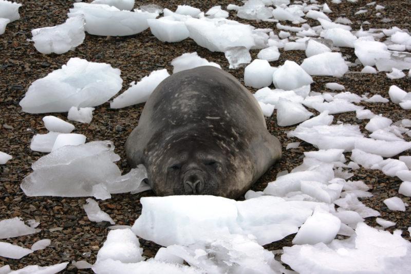 Leben im Klimawandel: Robben und See-Elefanten leiden besonders unter den schmelzenden polaren Eisklappen. (Reuters/Alister Doyle)