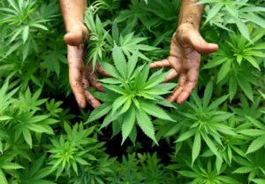 Die andere Swissness: In der Cannabiszucht verfügen die Schweizer über bestes Knowhow.