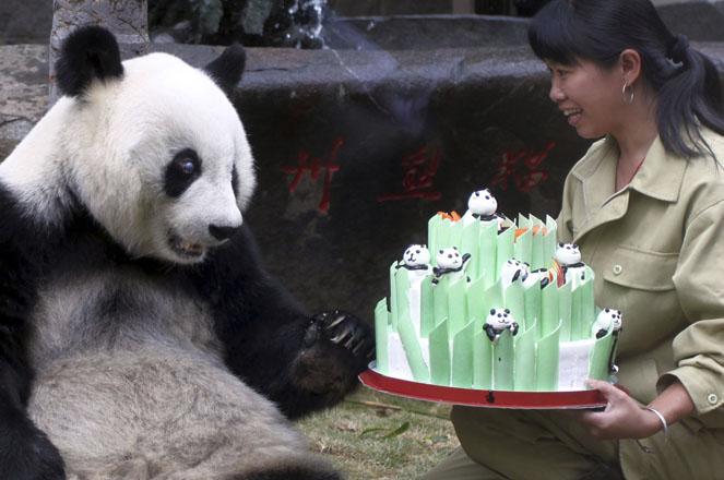 A zookeeper presents a birthday cake to giant panda Bath at the Fuzhou Panda World