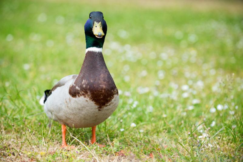 Gerade im Frühling sehr aktuell: Was, wenn die Ente einem beobachtet? Foto: iStock
