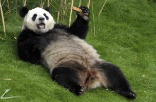 Die Pandaverschwörung