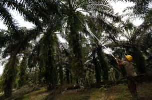epa05069866 An Indonesian worker harvests palm fruits ofr oil on a plantation in Tamiang, Aceh, Indonesia, 15 December 2015. Aceh Tamiang District Government is struggling to combat illegal palm oil plantation owners who turn part of forests into palm oil plantations, driving deforestation in Indonesia. In addition the industry fuels social conflict related to land rights and access to forest resources, pollution problems, and environmental destruction especially in converting natural forest and peat land ecosystems into palm oil plantations. According to a Roundtable on Sustainable Palm Oil (RSPO), a non-profit promoting sustainable palm production, Indonesia is the largest sustainable-certified palm oil producer at 48.2 percent of total production, followed by Malaysia at 43.9 percent.  EPA/HOTLI SIMANJUNTAK