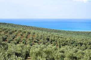 Planetas Olivenhain unterhalb von Capparrina in Sizilien