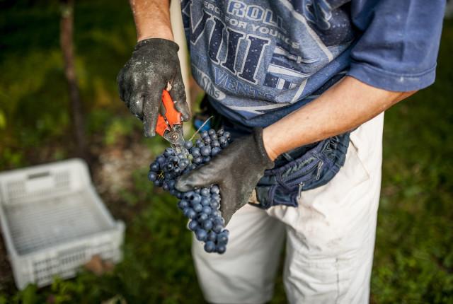 Die Trauben des Ripasso sind meist Corvina, Corvinone und Rondinella.