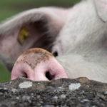 Ein Schwein schnuppert hinter einer Mauer in einem freien Auslauf auf einer saftigen Fruehlingswiese in Igis im Churer Rheintal, am Samstag, 11. Mai 2013. (KEYSTONE/Arno Balzarini) ....A pig enjoys going out on the pasture in Igis, Switzerland, 11 May 2013. (KEYSTONE/Arno Balzarini)