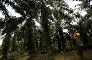Umstrittenes Palmöl