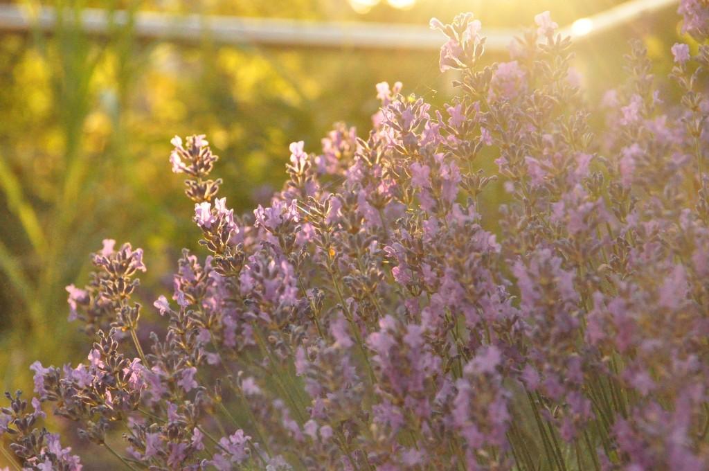 calm down with lavender gartenblog. Black Bedroom Furniture Sets. Home Design Ideas