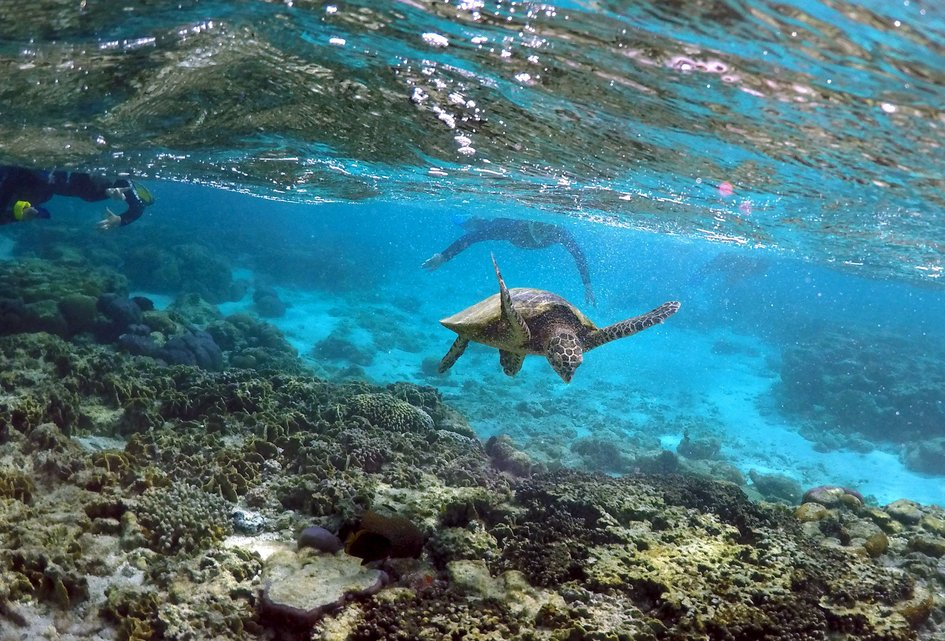 "Tourists snorkel near a turtle as it looks for food amongst the coral in the lagoon at Lady Elliot Island north-east of the town of Bundaberg in Queensland, Australia, June 9, 2015. The lagoon, which is occupied by turtles during high tide, is only accessible for snorkelling during this time. UNESCO World Heritage delegates recently snorkelled on Australia's Great Barrier Reef, thousands of coral reefs, which stretch over 2,000 km off the northeast coast. Surrounded by manta rays, dolphins and reef sharks, their mission was to check the health of the world's largest living ecosystem, which brings in billions of dollars a year in tourism. Some coral has been badly damaged and animal species, including dugong and large green turtles, are threatened. UNESCO will say on Wednesday whether it will place the reef on a list of endangered World Heritage sites, a move the Australian government wants to avoid at all costs, having lobbied hard overseas. Earlier this year, UNESCO said the reef's outlook was ""poor"".  REUTERS/David Gray PICTURE 9 OF 23 FOR WIDER IMAGE STORY ""GREAT BARRIER REEF AT RISK"" SEARCH ""GRAY REEF"" FOR ALL PICTURES"