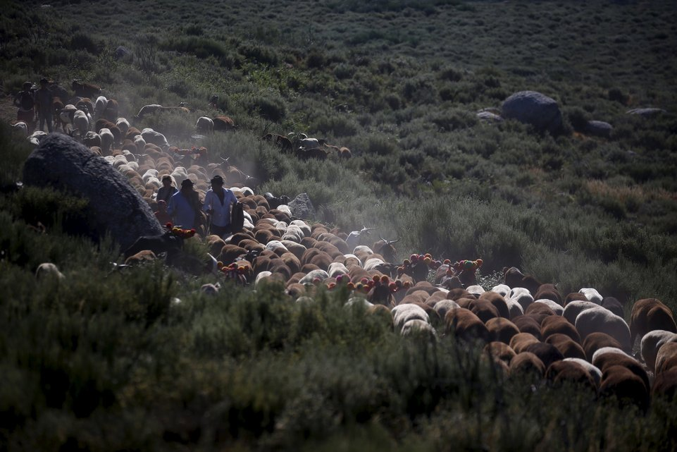 "Shepherds direct their herd as they migrate to summer pastures in Serra da Estrela, near Seia, Portugal June 27, 2015. In late June, shepherds young and old in the Seia region of central Portugal start guiding sheep, goats and cattle to the Serra da Estrela, the country's highest mountains, in search of better pastures. There they stay until the end of September. Modern-day shepherds may have mobile phones to keep in touch with family and friends, but their lifestyle has changed little for centuries. The sound of cowbells and the bark of longhaired mastiffs starts early in the morning as the animals – often decorated with traditional woollen balls on their horns - are herded up steep, narrow paths. REUTERS/Rafael Marchante PICTURE 2 OF 23 FOR WIDER IMAGE STORY ""OLD TRADITIONS, NEW PASTURES"" SEARCH ""SERRA DA ESTRELA"" FOR ALL PICTURES"