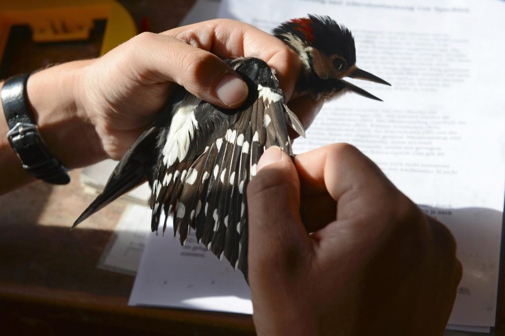 Col de Bretolet - Vogelberingungsstation der Vogelwarte Sempach - dieser Buntspecht wird genau untersucht