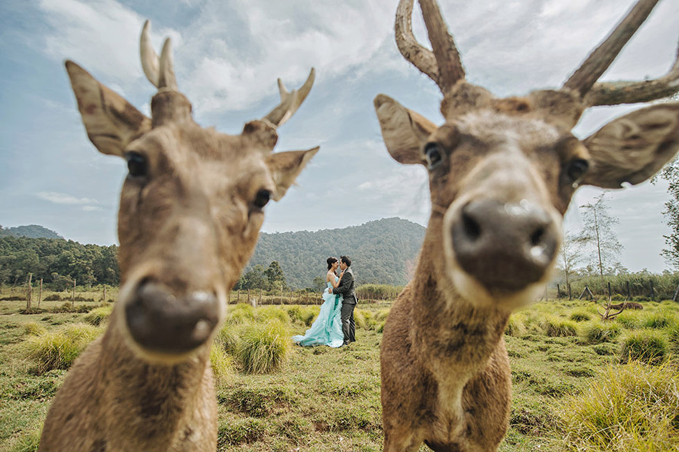 **MANDATORY PICTURE CREDIT** PIC BY: HENDRA LESMANA / CATERS NEWS (Pictured: Couples wedding photo photobombed by deer) - These hilarious photos will leave people WEDDING themselves with laughter. The images - which include photobombs, wardrobe malfunctions and unexpected animal behaviour - have been released by the International Society of Professional Wedding Photographs (ISPWP). Each year the society holds quarterly competitions, celebrating a variety of the best image from couples special days. Other categories in the ISPWPs completions include the likes Getting Ready, First Dance, Family Love, and a selection of portrait possibilities. - SEE CATERS COPY (FOTO: DUKAS/CATERSNEWS) *** Local Caption *** Funniest Wedding Photos of 2015