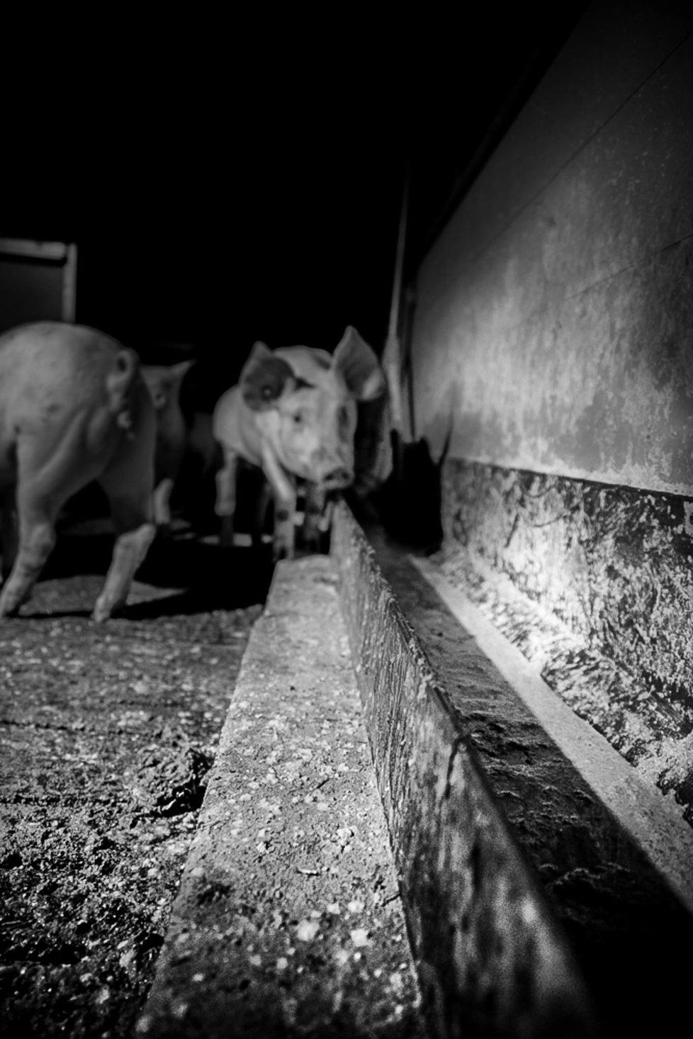 pigs-20131205-2