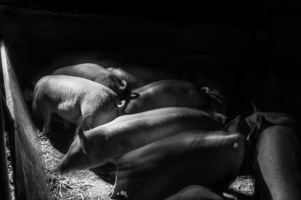 pigs-20131218