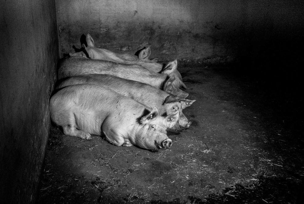 pigs-20131231