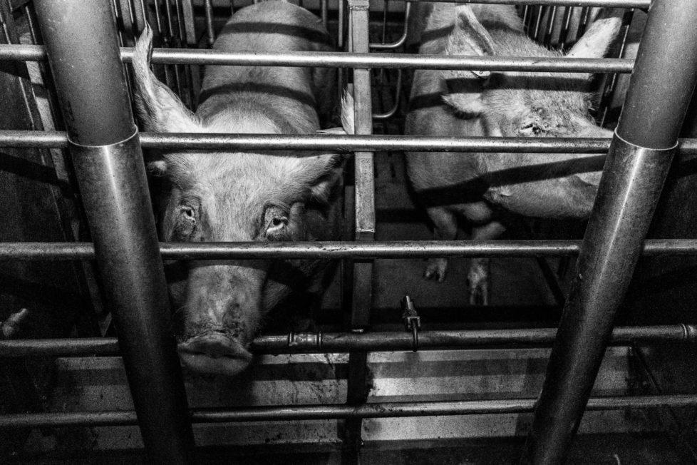 pigs-9264